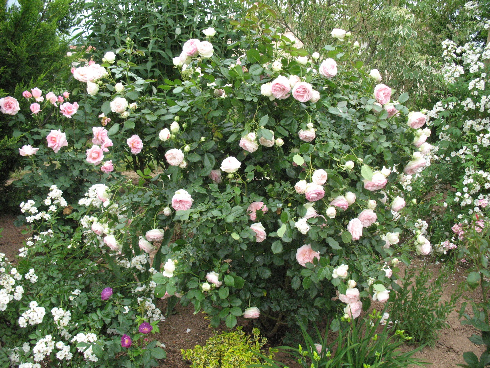 """Faire Un Rosier Avec Une Rose roses du jardin chêneland: rosier """"pierre de ronsard"""""""
