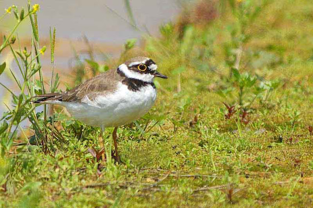 Charadrius dubius, bird, Little Ringed Plover