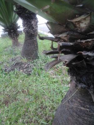 batang agave hijau