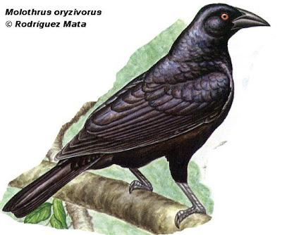 aves de Argentina Tordo gigante Moothrus oryzivorus