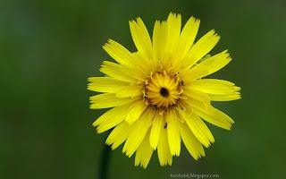 http://fotobabij.blogspot.com/2015/03/chodek-drobny-kwiat-arnoseris-minima.html