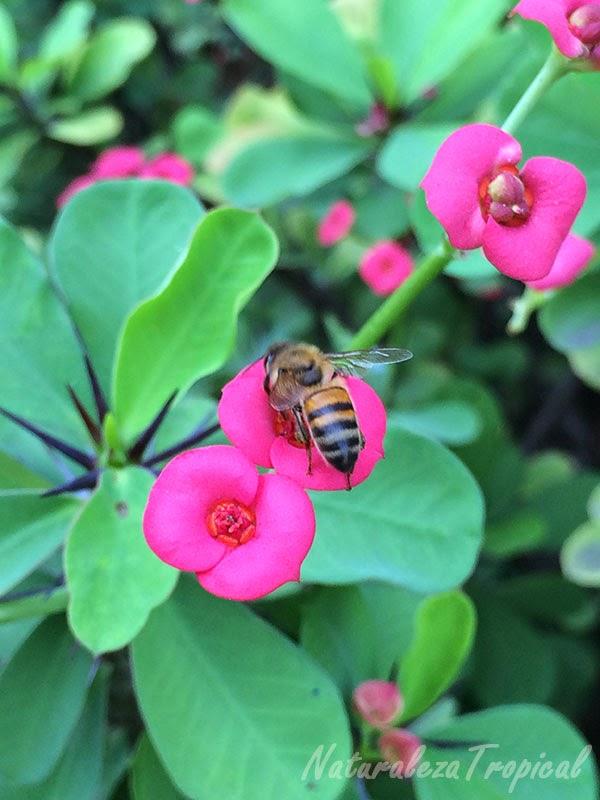 Variedad roja de la flor Coronita de Cristo, nombre popular de Euphorbia milii siendo polinizada por una abeja.