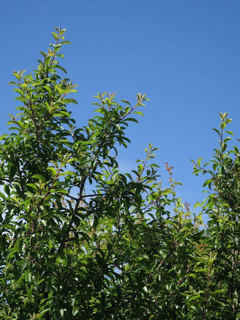Blackthorn leaves against a blue sky.