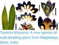 https://sciencythoughts.blogspot.com/2017/12/tupistra-khasiana-new-species-of-rock.html