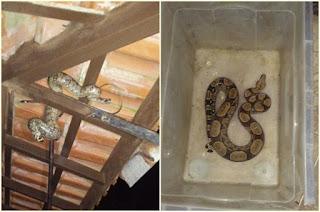 http://vnoticia.com.br/noticia/2620-jiboia-em-baixo-do-telhado-assusta-moradora-em-manguinhos