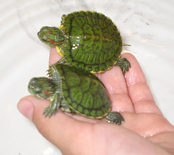 Cutes Pets In the World: Lovely Turtles As Your Pets