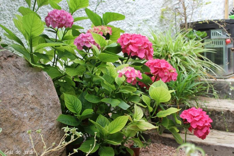 Corregir la clorosis en las hortensias