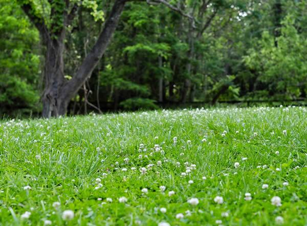 White clover lawn