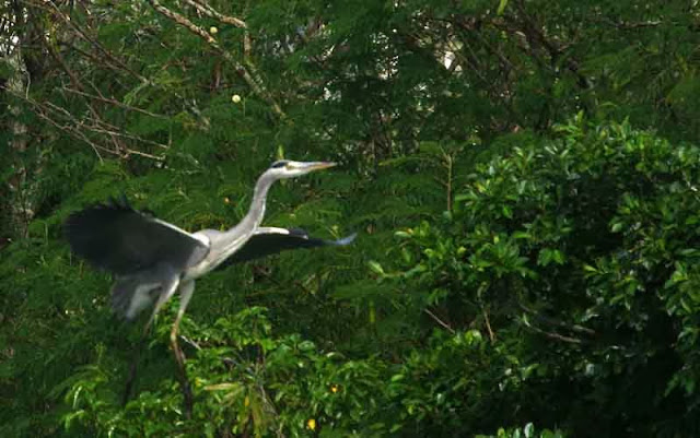 bird, Grey Heron in flight