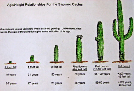 The Saguaro Cactus Is Actually Clified As A Tree When It First Starts Growing Needs To Grow In Shade Of What Called Nurse