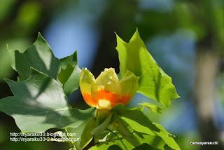 ユリノキの花の写真