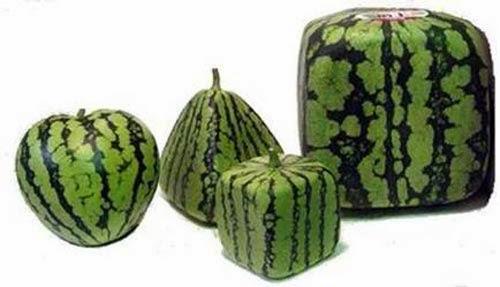 اليابان تنتج بطيخا مكعب الشكل عن طريق الزراعة!