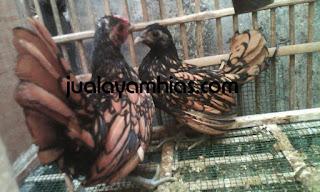 Ayam Batik Kanada Cokelat Gold Usia 3 Bulan