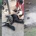 Leão de circo escapa jaula em Serrinha e mata 30 animais