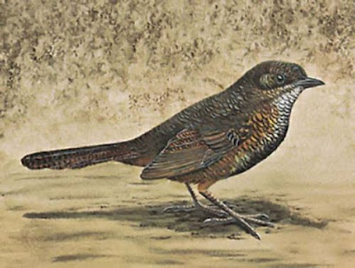 Matorralero rojizo Atrichornis rufescens