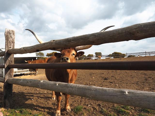 Buey de enormes cuernos junto a una valla