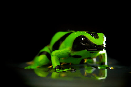Funny Wallpapers: Green poison dart frog, green and black ...