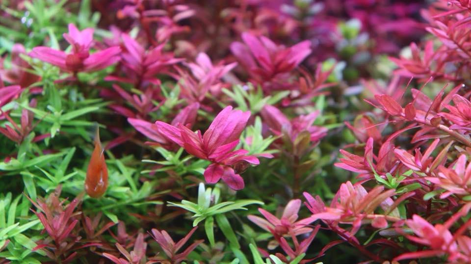 Vẻ đẹp rực rỡ của cây thủy sinh Vẩy ốc đỏ