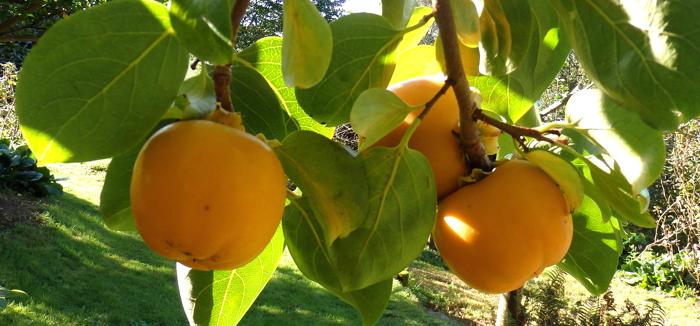 Rboles frutales qu sabemos de ellos nociones b sicas for Arboles frutales para jardin