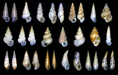 http://www.fotoconchigliemediterraneo.com/2013/02/8-aclididae-epitoniidae-eulimidae.html