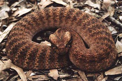 Common Death Adder Snake curled up on dry leaves
