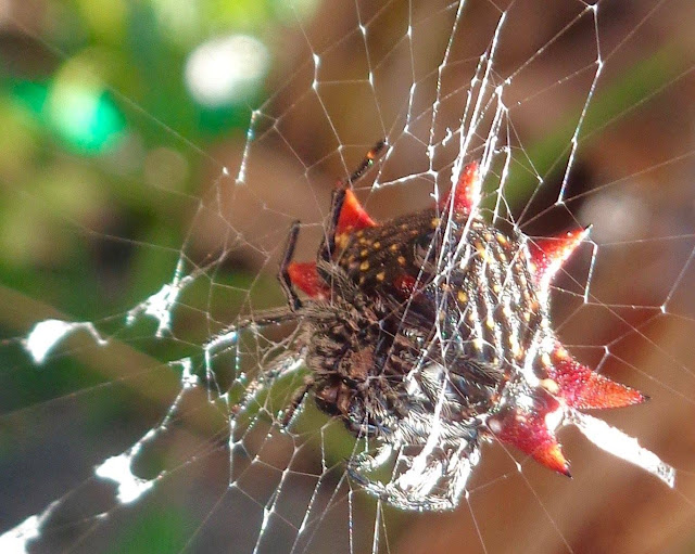 Spiny orb weaver in its web