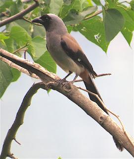 Gray Treepie