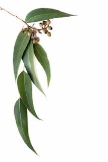 eucalipto insecticida natural para las hormigas