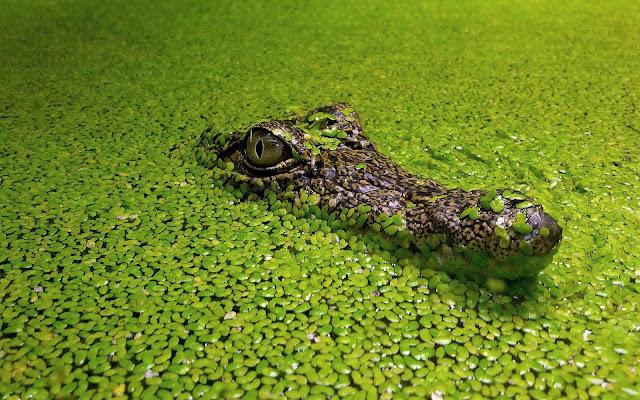 Krokodil in het water tussen de groene blaadjes