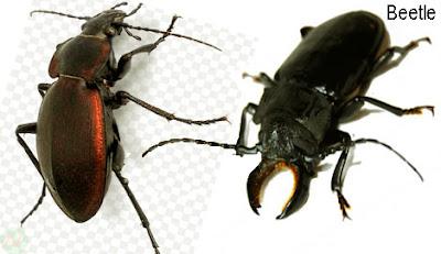 beetle, beetle insect