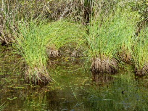 hummocks of grass in wetland