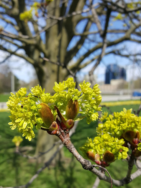 Spring Tree Blossoms Urban Nature Observations
