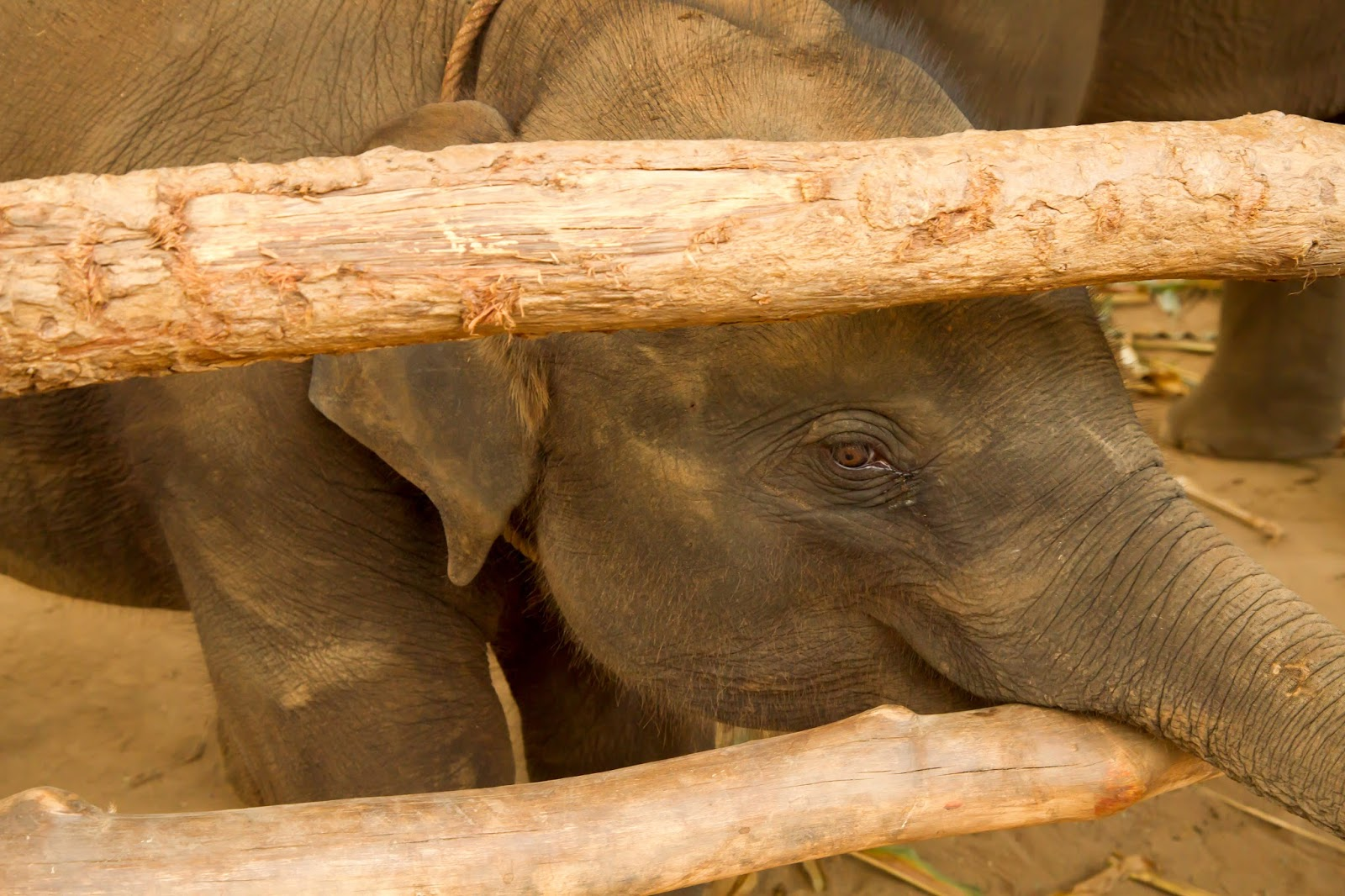 baby elephant at the Elephant Jungle Sanctuary | Chiang Mai, Thailand