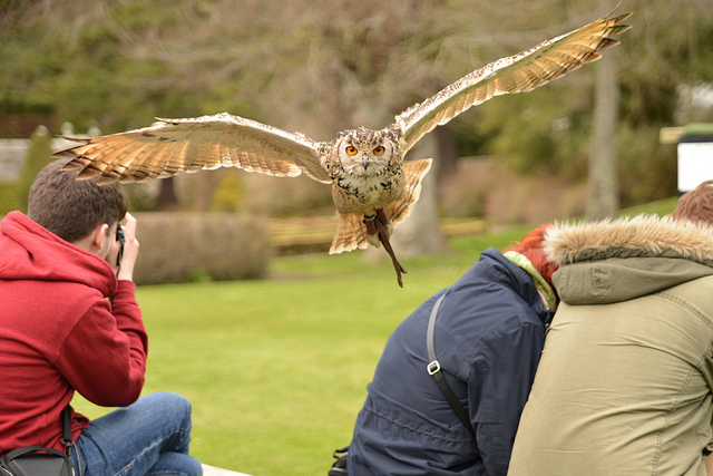 A picture of an Owl in flight at a Falconry demonstration at Dunrobin Castle, Golspie in Scotland