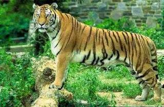 Royal Bengal Tiger : Our National Animal