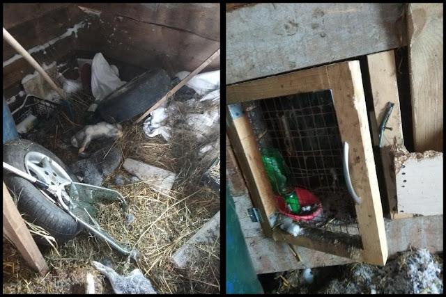 Возвращение Чупакабры: в Толбазах погибли 9 кроликов
