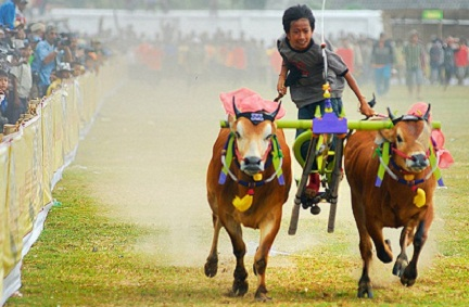 karapan sapi madura wisata bangkalan