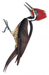 Hylatomus fuscipennis
