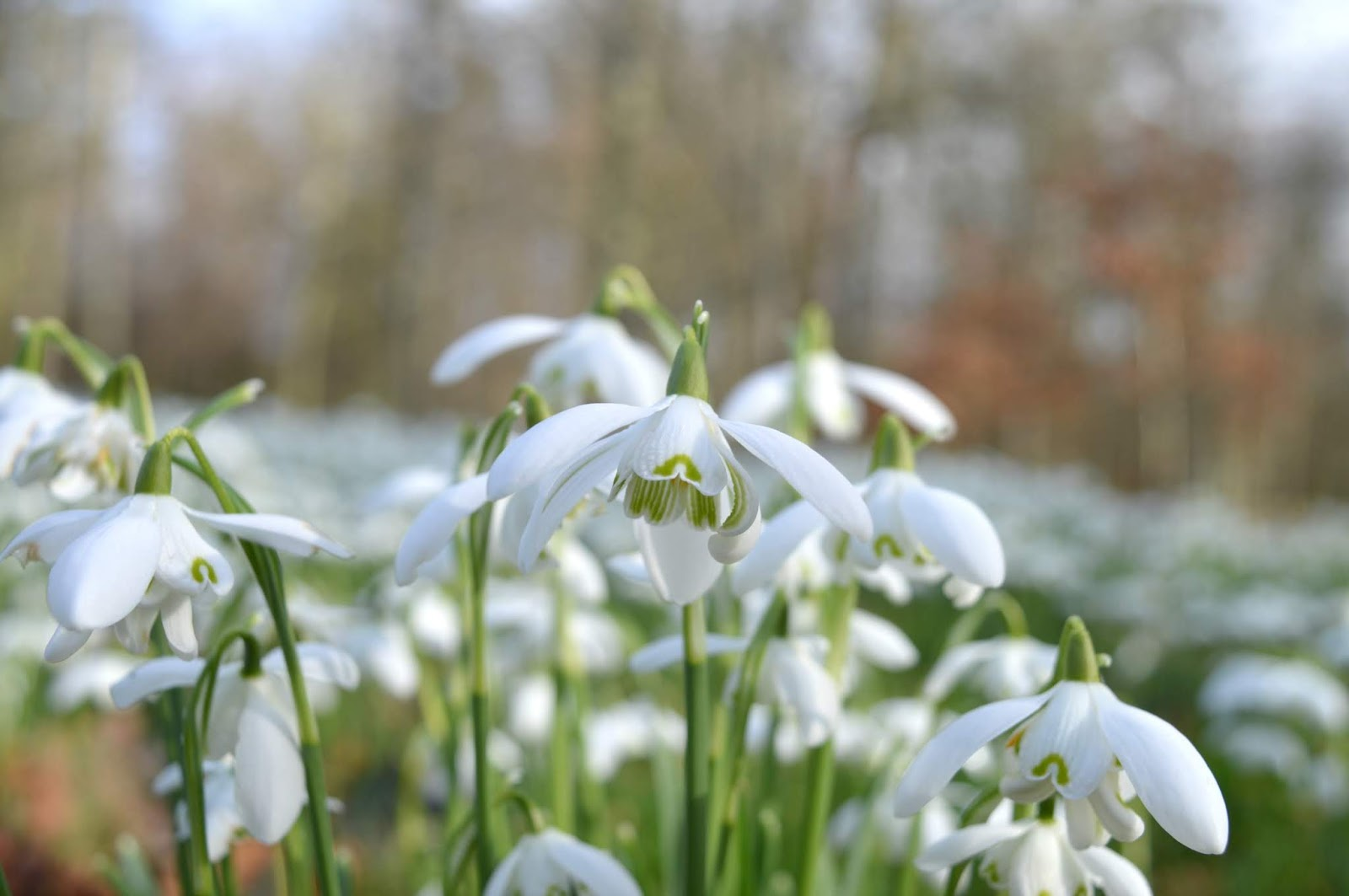 North East Flowers - Snowdrops