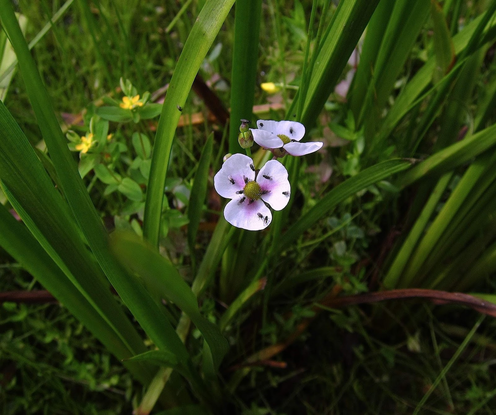 Saratoga woods and waterways sunday on the river with sue popping up amid the st johnswort carpet were a number of grass leaved arrowheads their dazzling white petals touched with pink and speckled with tiny dhlflorist Image collections