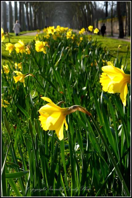 Daffodils jonquilles avenue de Paris à Versailles
