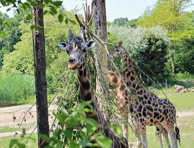 zoo Leipzig - Giraffen