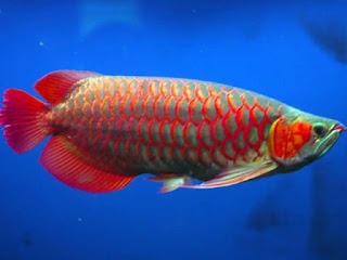 Cara Membuat Ikan Arwana Nafsu makannya meningkat