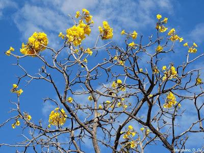 Flores, amarelo, ipê amarelo, tabebuia, Flowers, cerrado, Brazil, Yellow, Natureza, Nature, Tocantins, fotos grátis, fotos de ipê, imagens grátis