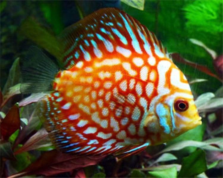 Cá dĩa, một loại cá đẹp để nuôi trong bể thủy sinh