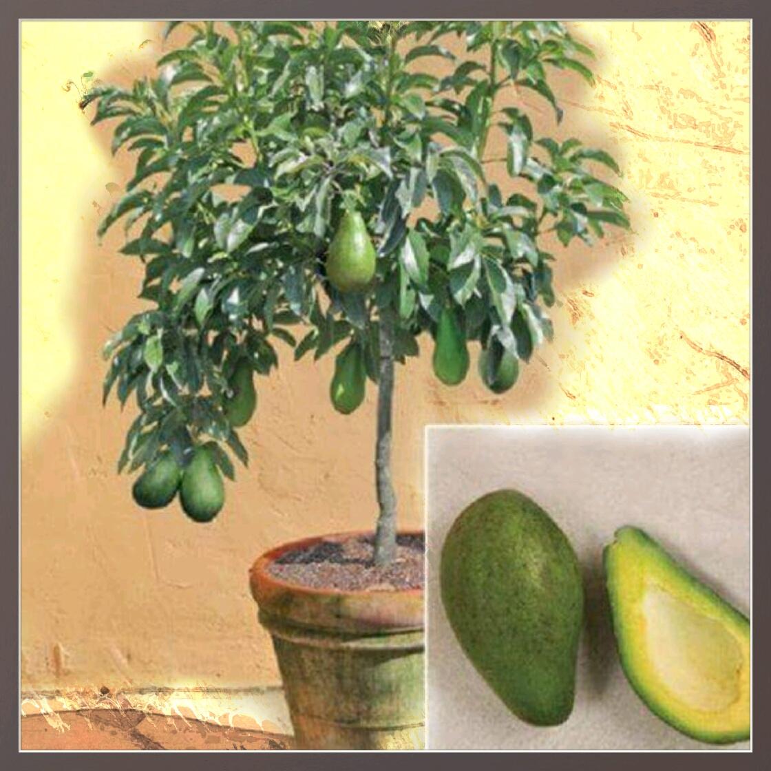 tudo sobre as plantas e mais um pouco sobre todos os tipos de coisas bonsai de abacateiro