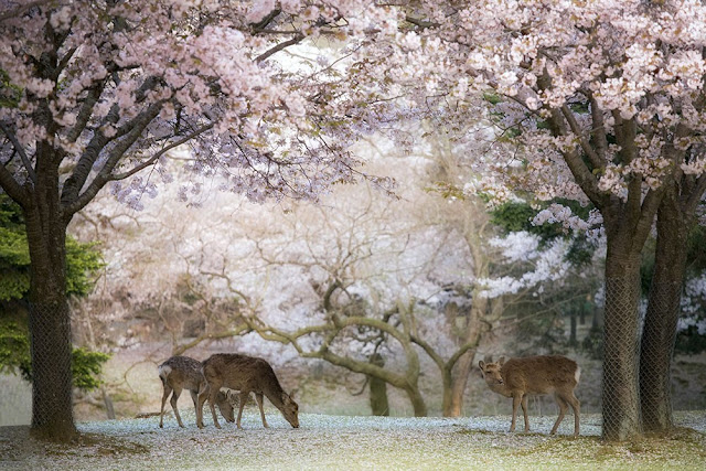 Deer in Nara during Japan's cherry blossom season