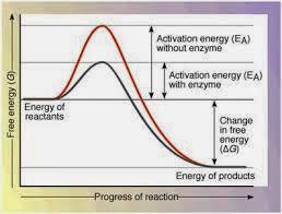 enzim bekerja dengan cara menurunkan energi aktifasi