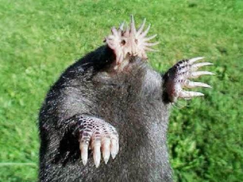 Tikus Tanah Hidung Bintang
