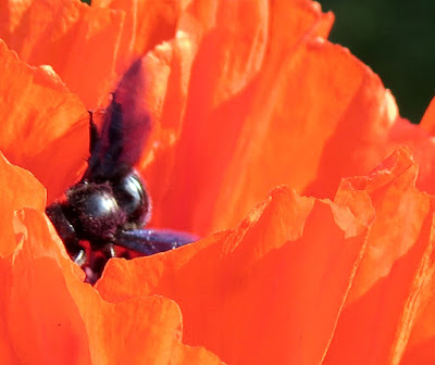 Mohn|Wildbienen|